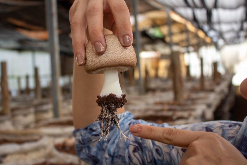 O Cogumelo Agaricus blazei pode auxiliar o tratamento do combate ao câncer?