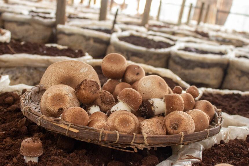 Qual a composição do Cogumelo Agaricus blazei?