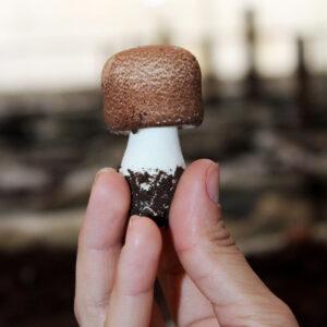 O que é o Cogumelo Agaricus blazei?