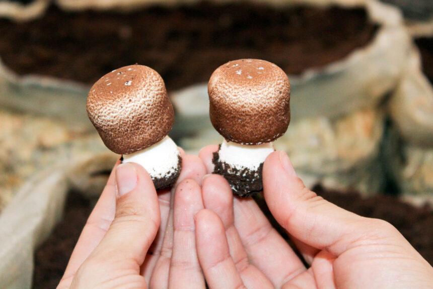 O cogumelo Agaricus blazei é antioxidante?